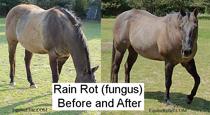 Rain Rot horse fungus cured